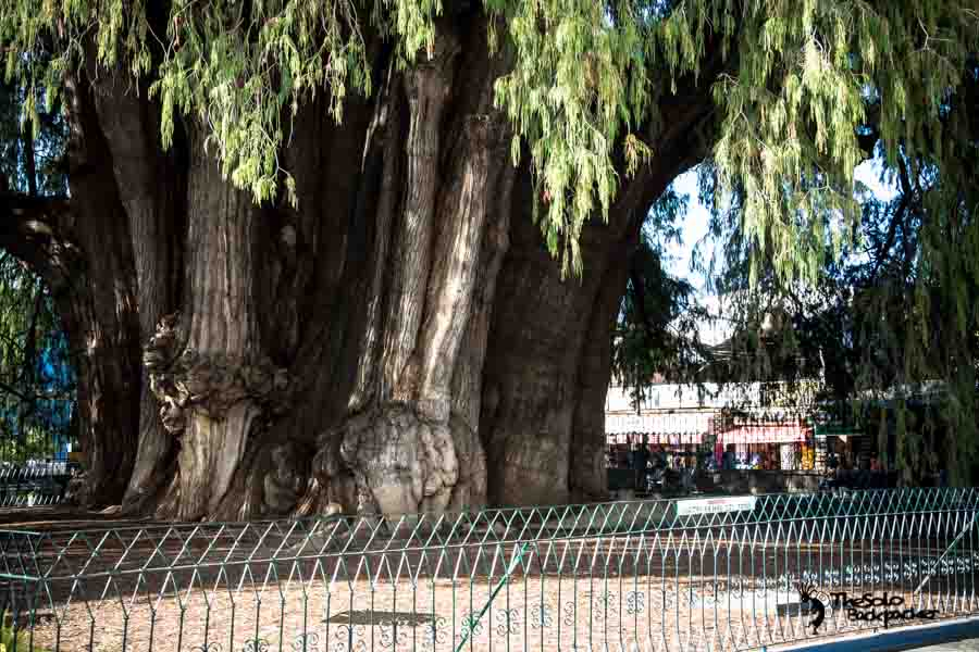 Tule Tree, which has The Widest Tree Trunk in the World located about 9km from Oaxaca center, Mexico. Mexico backpacking itinerary